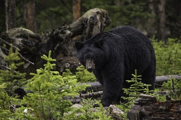 Black bear 1170229 640